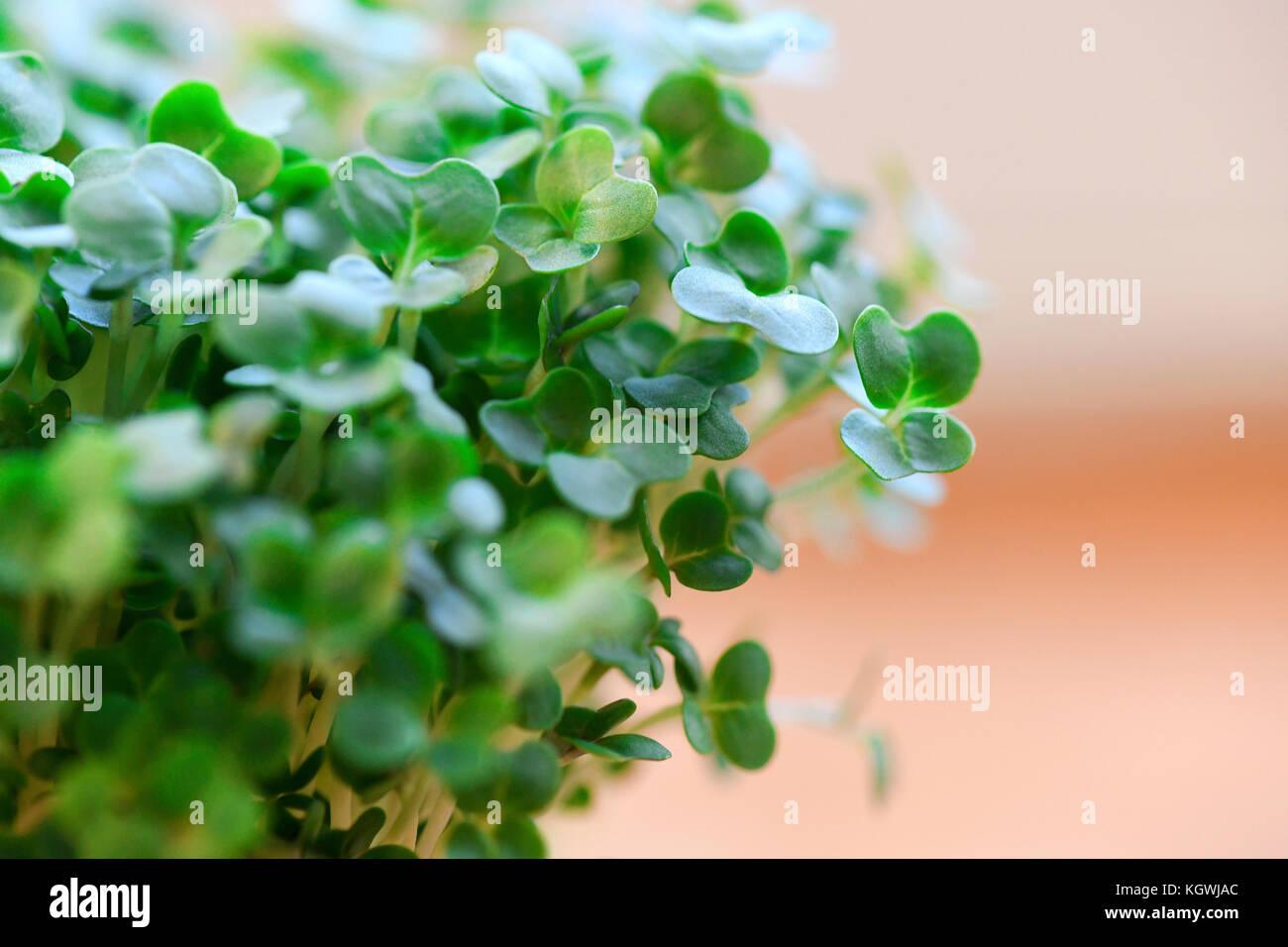 Imagen macro de berro orgánicos utilizados para ensaladas y comidas a base de vegetales una hierba con beneficios Imagen De Stock