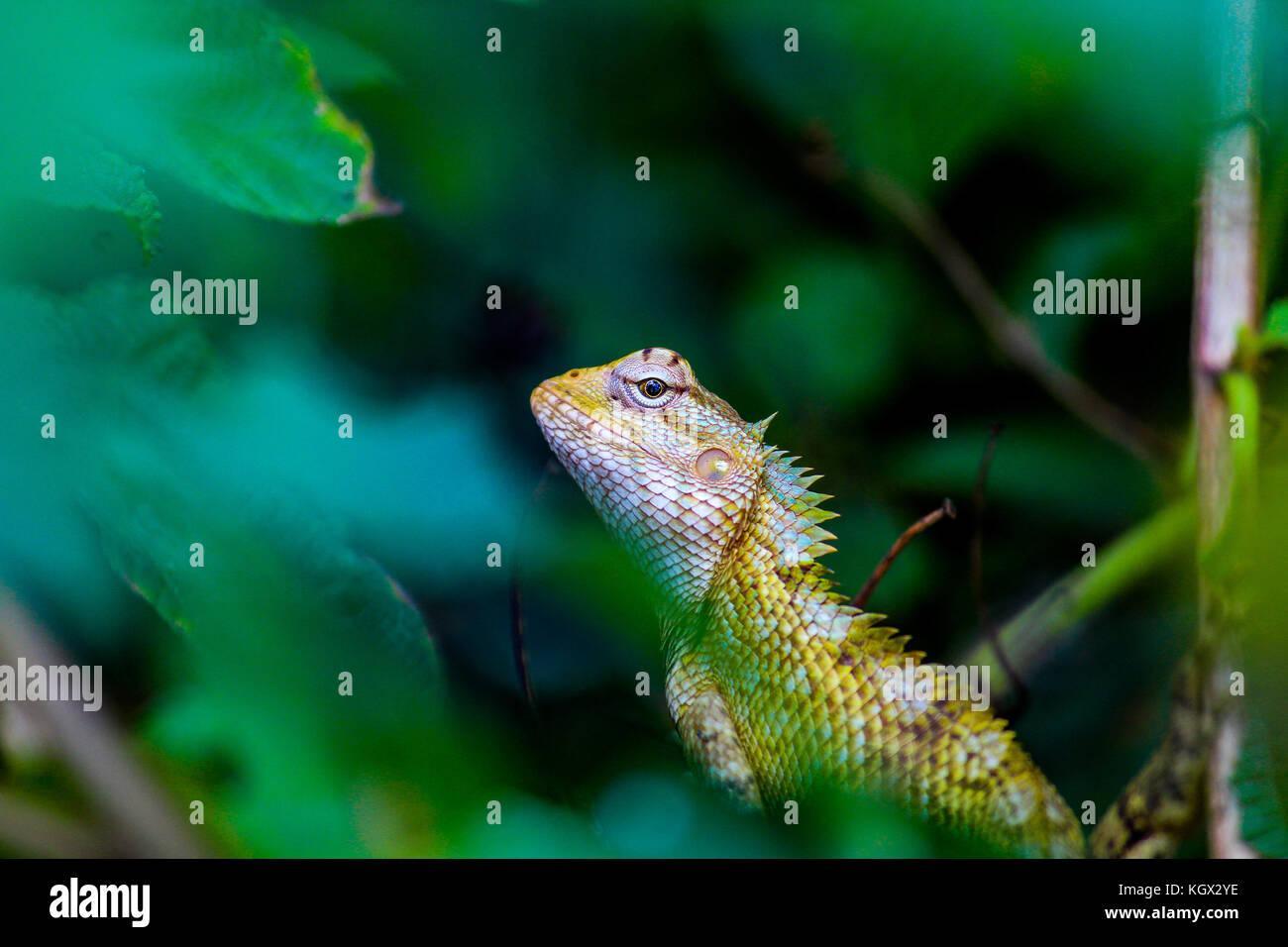 El camaleón Imagen De Stock