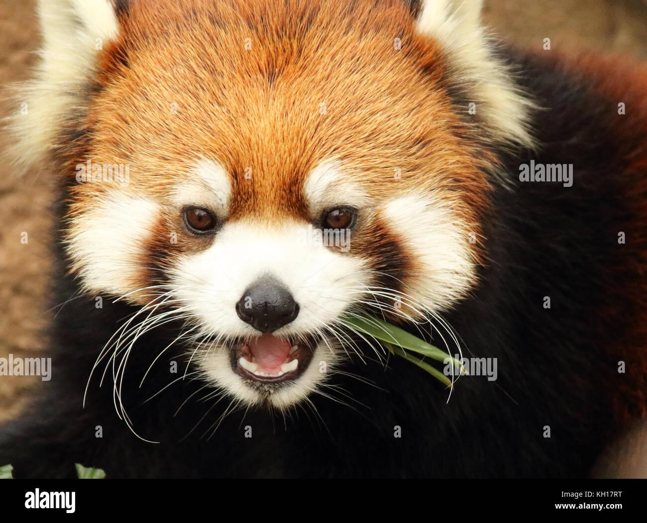 Un panda rojo dando un gruñido de baja mientras se alimentan. Imagen De Stock