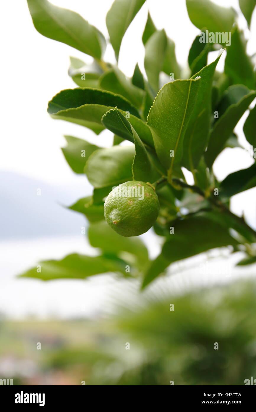 Zitrone, Limone, Limette, am Baum Foto de stock