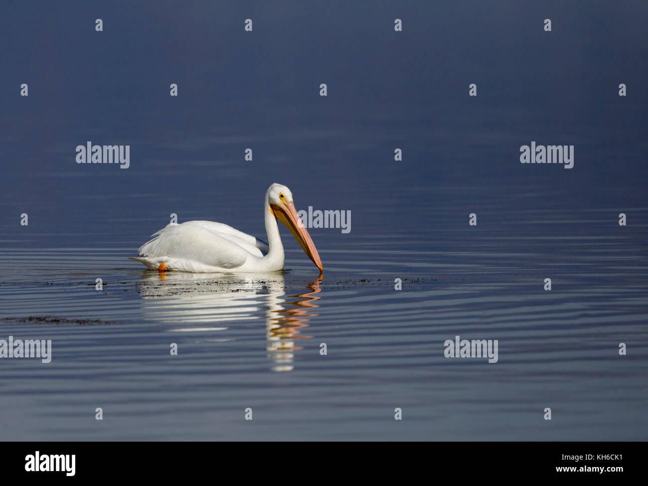 Pelícano blanco sobre el azul del agua Foto de stock