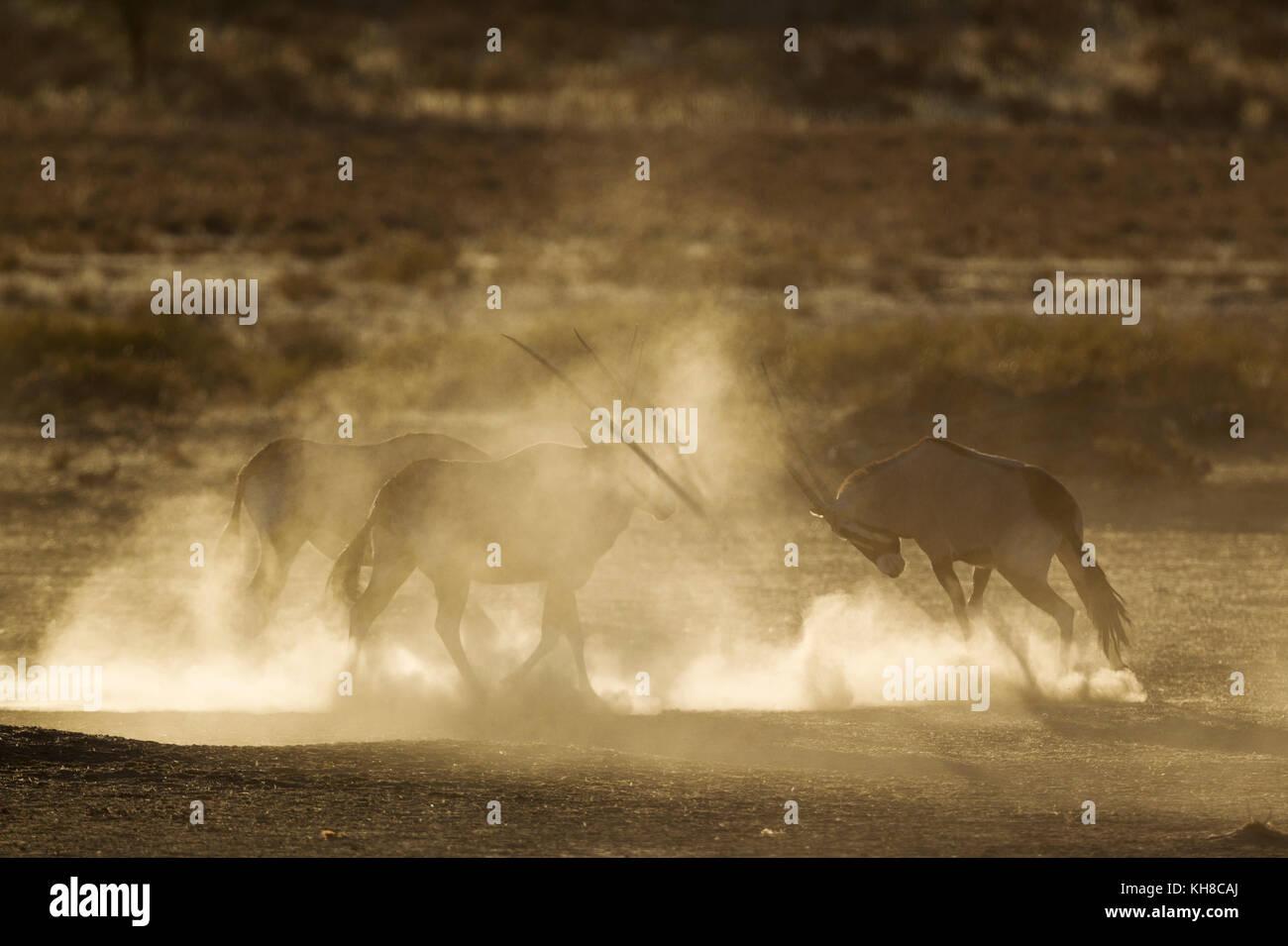 Gemsboks (Oryx gazella), nervioso y levantando un montón de polvo en las primeras horas de la mañana, Imagen De Stock