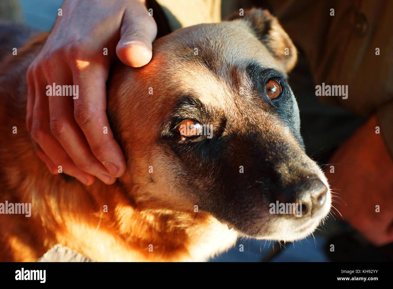 El hombre está acariciando un perro amarillo. Imagen De Stock