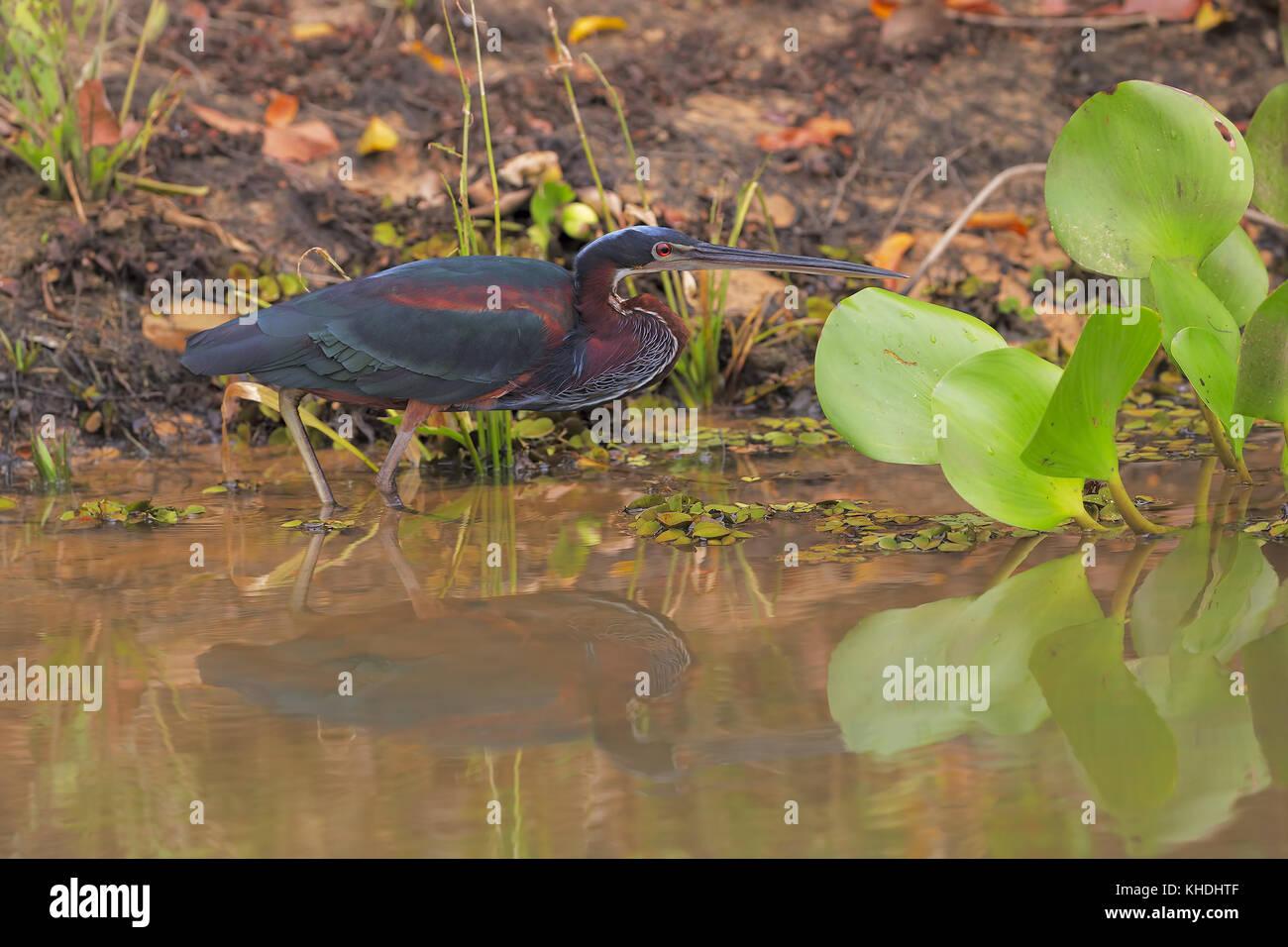 Heron de Agami Foto de stock