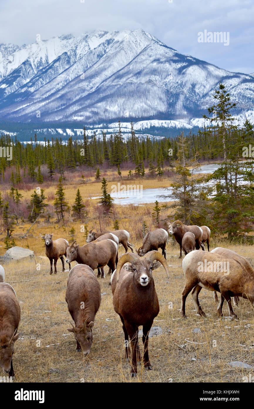 Una imagen vertical de una manada salvaje de borrego cimarrón (Ovis canadensis) forrajeando en la hierba marrón en un majestuoso paisaje de las montañas rocosas en Jasper Nación Foto de stock