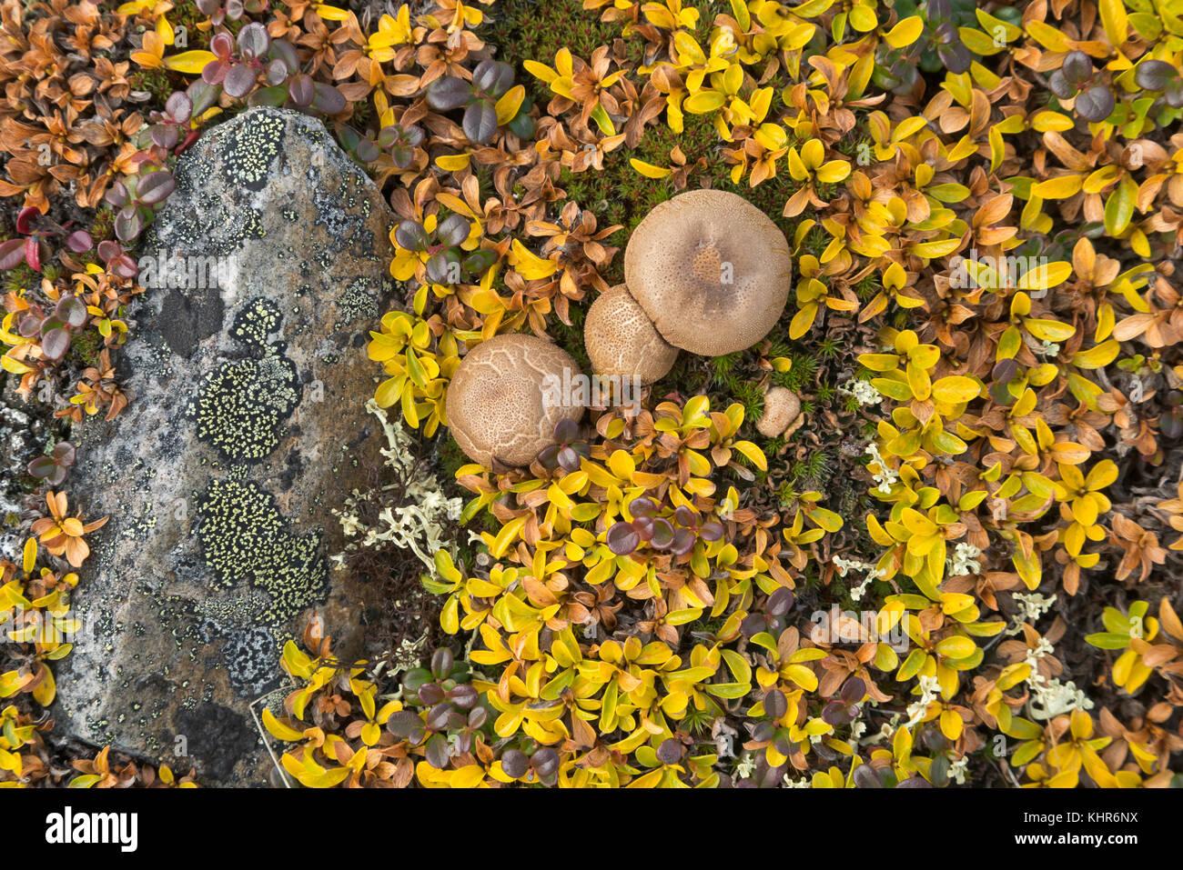 """Bolete (Boletus sp) setas en tundra en otoño, carretera Dempster, Yukon, Canadá"" Foto de stock"
