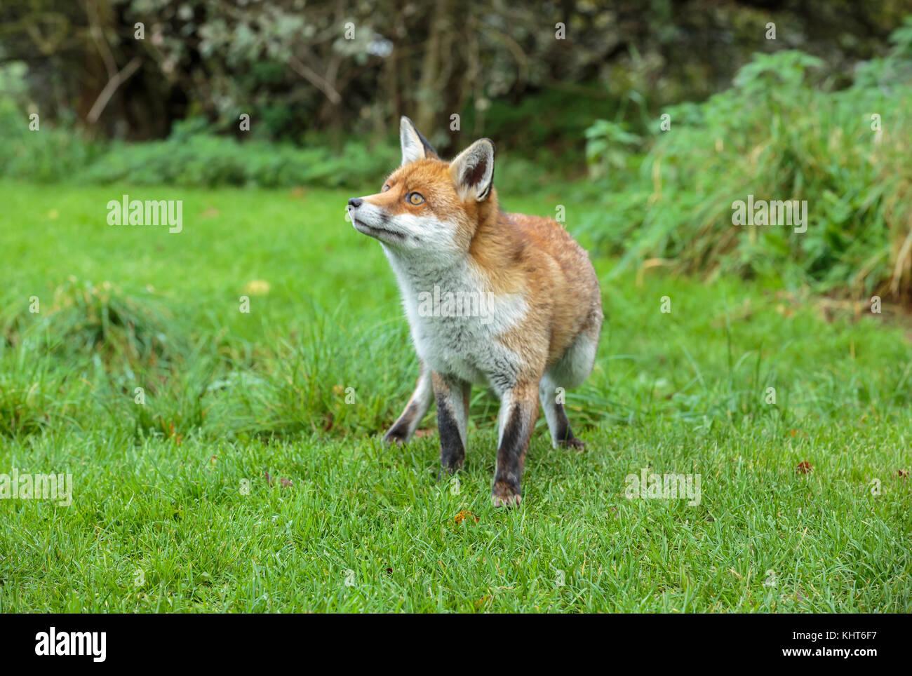 Un zorro rojo Imagen De Stock