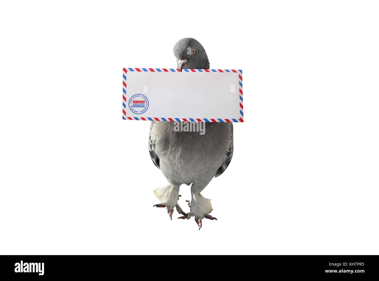 Llevar el correo aéreo de paloma gris sobre fondo blanco. Foto de stock