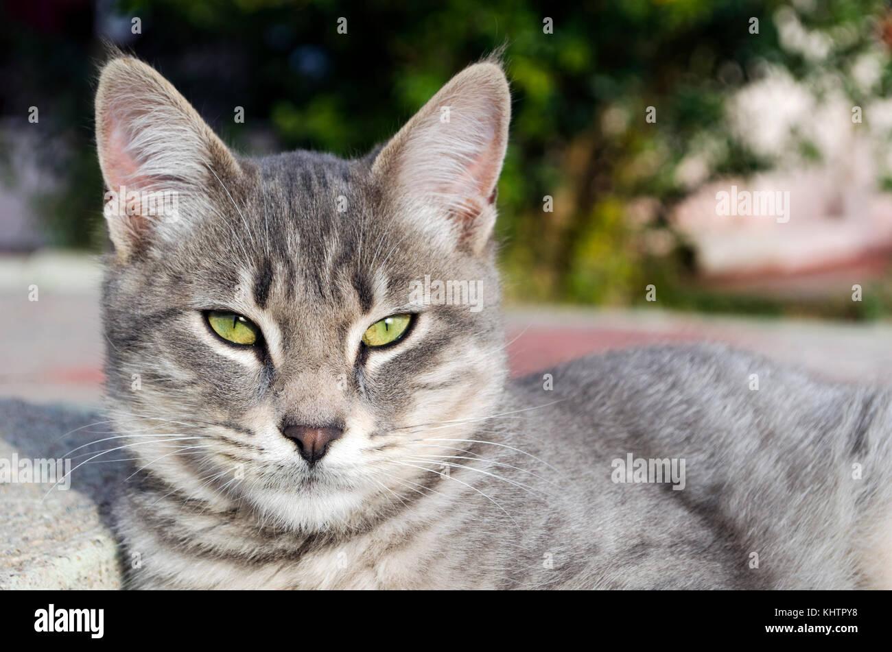 Unión gato gris afuera mirando a la cámara Foto de stock