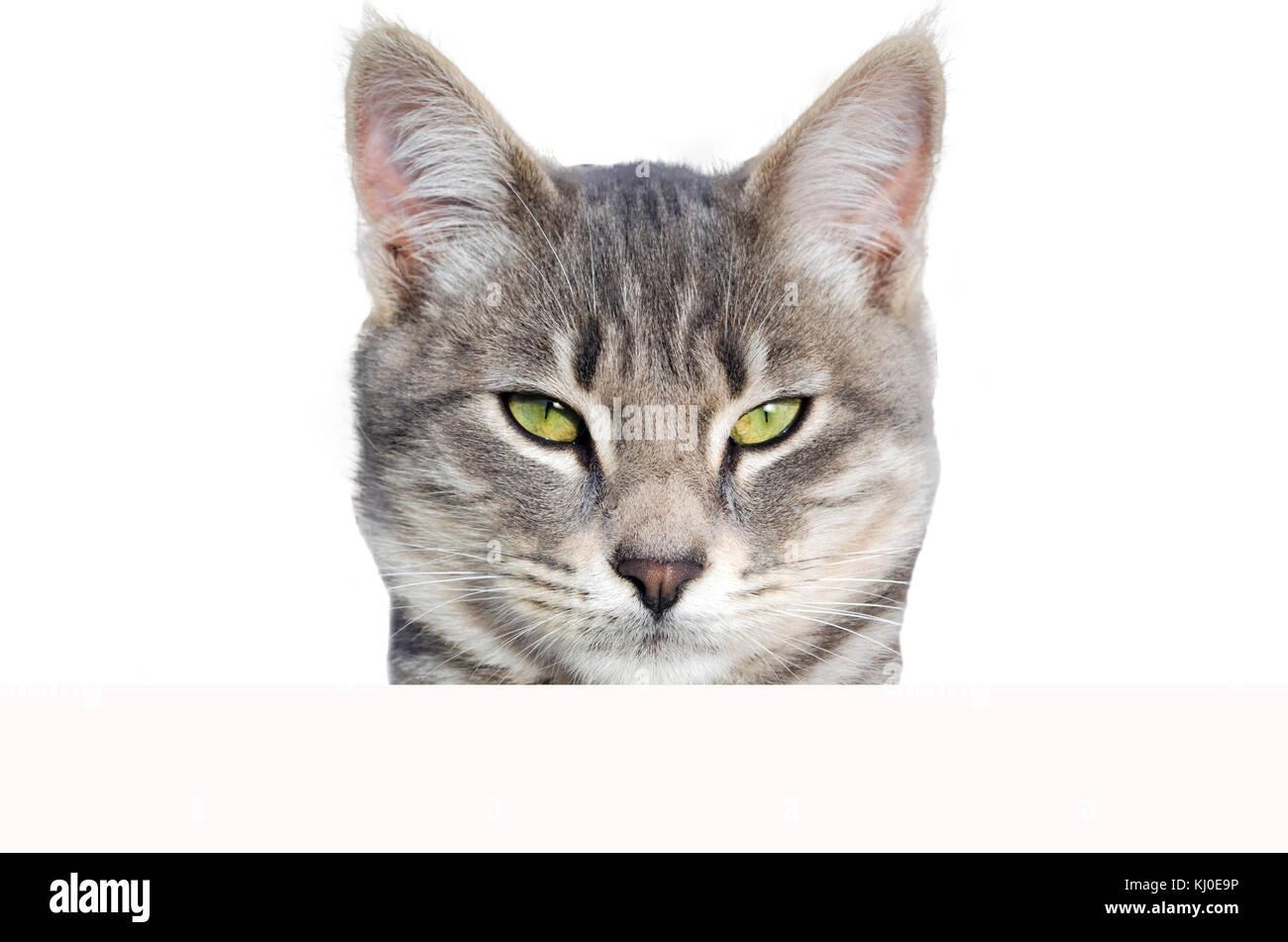 Gato mirando a la Cámara fondo blanco. Foto de stock