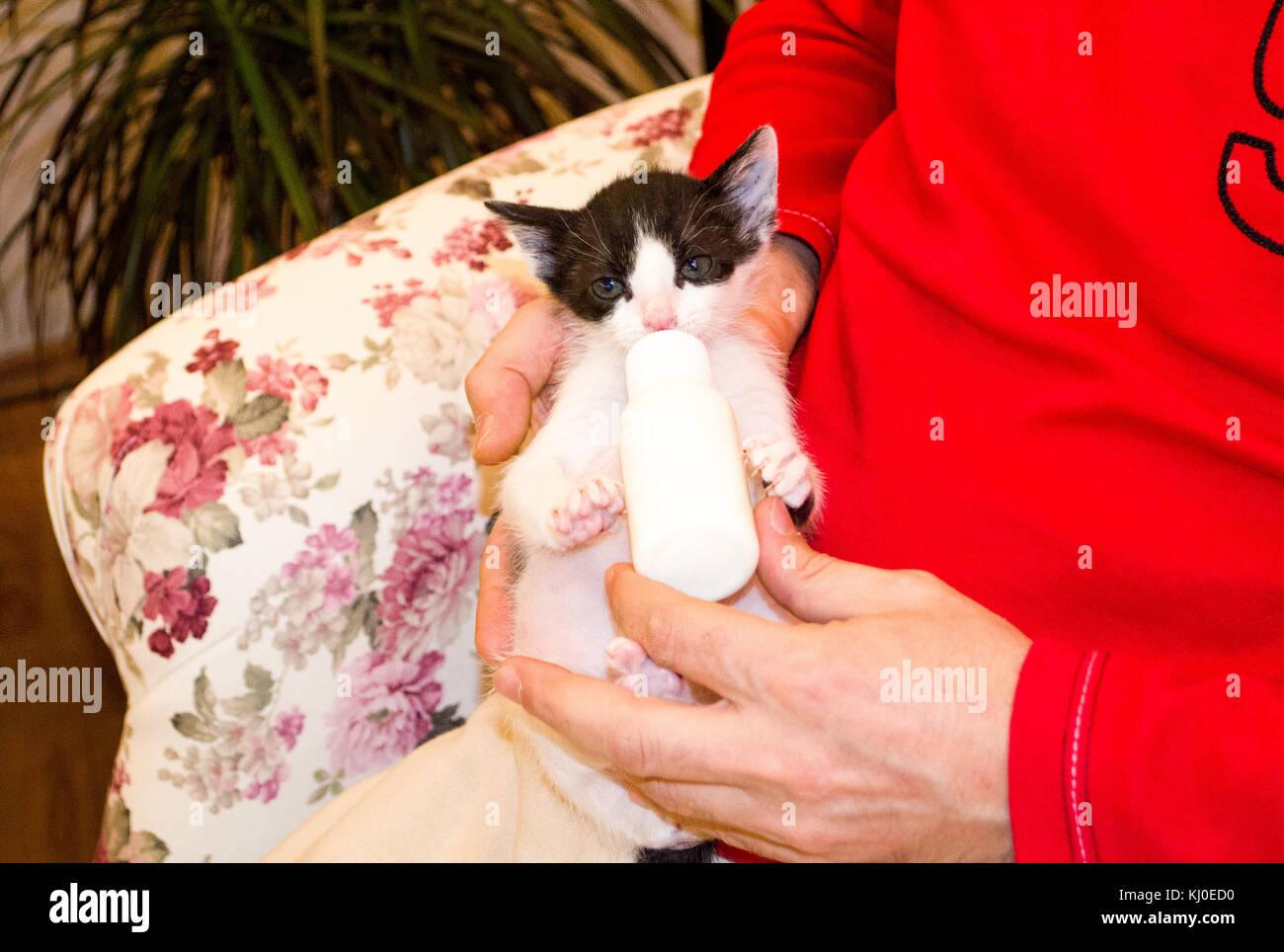 Alimentación humana lindo gatito con un substituto de leche Foto de stock