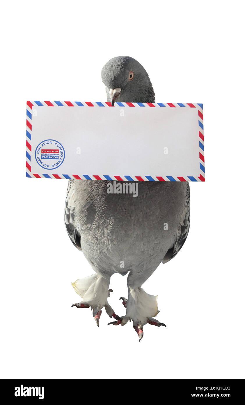 Paloma que lleva el correo aéreo sobre fondo blanco foto vertical Foto de stock