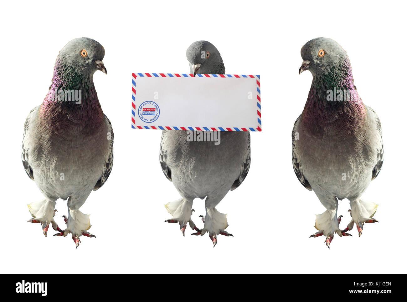 Equipo de palomas. Uno de ellos es llevar el correo aéreo sobre en la boca.la foto en horizontal Foto de stock