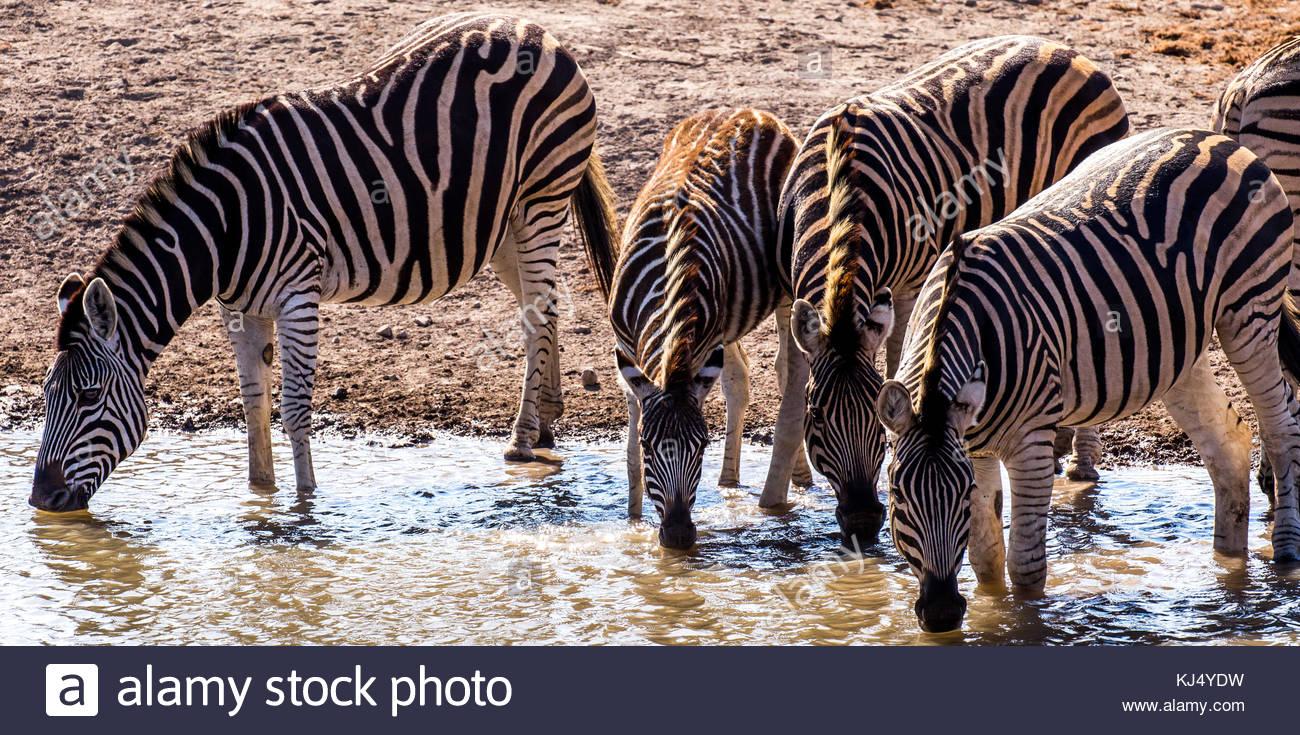 Cebras agua potable Imagen De Stock