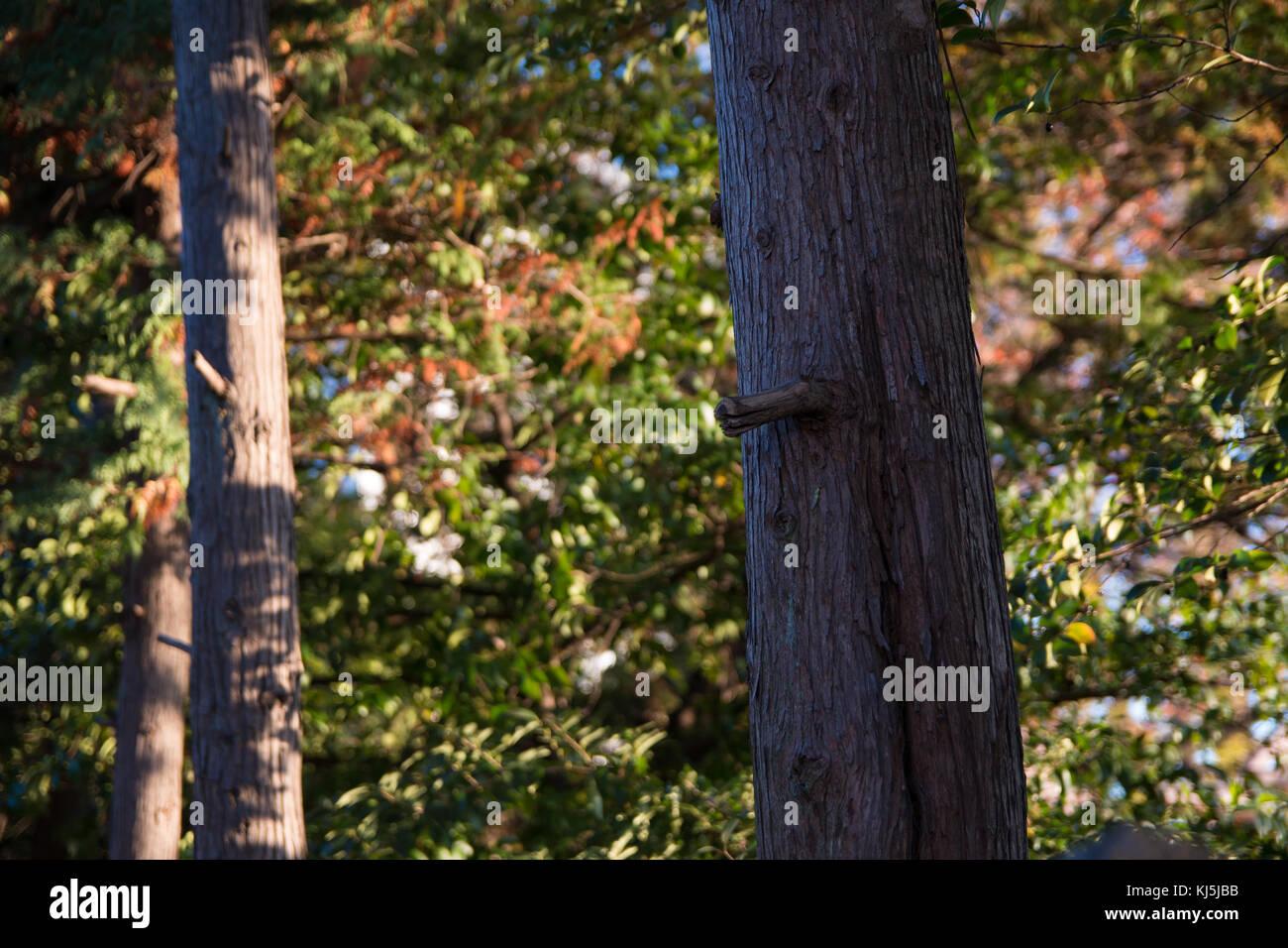 Abies firma: abeto japonés Imagen De Stock