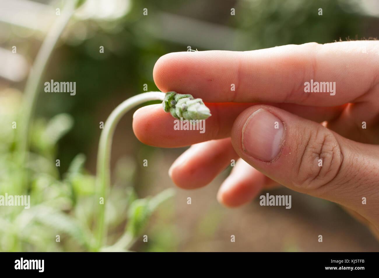 Close-up de la mano del hombre sujetando la lavanda bud Imagen De Stock