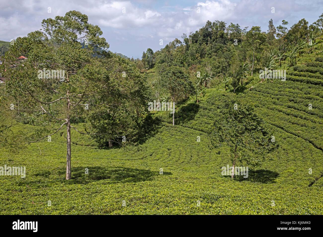 Las plantaciones de té en terrazas en las laderas del monte lawu / gunung lawu cerca solitario / Surakarta, Imagen De Stock