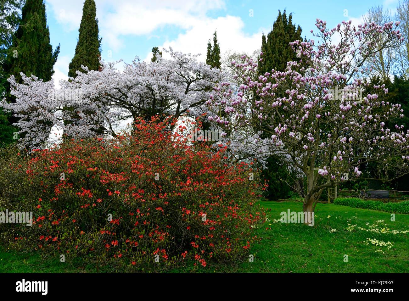 prunus magnolia azalea flores flores flores rojo