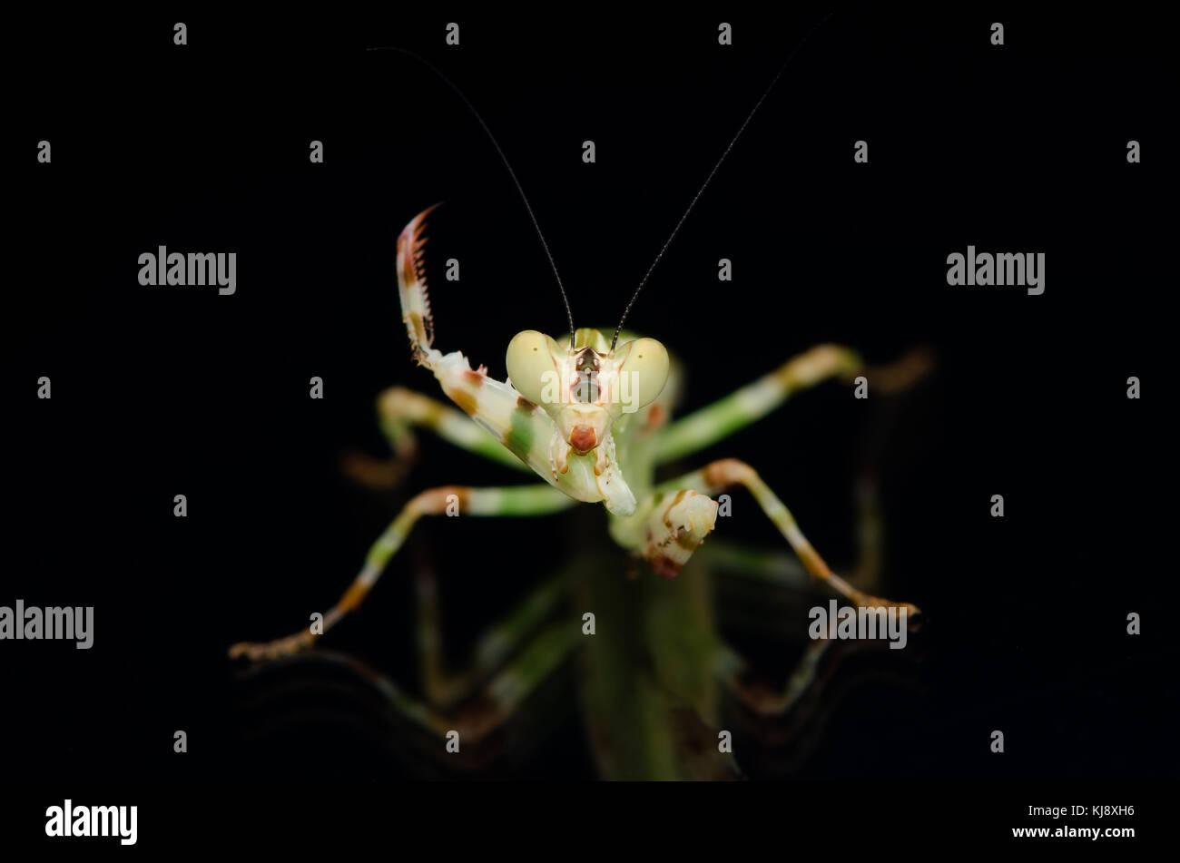 Flor de bandas masculinas. theopropus mantis elegans, mantis malasia. aislado sobre fondo negro. Imagen De Stock