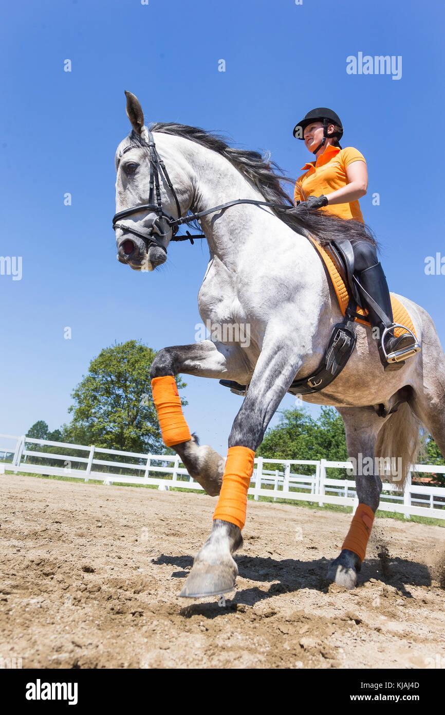 Puro Caballo Español, andaluz. Jinete con menores semental gris galopando en un caballo. Austria Foto de stock