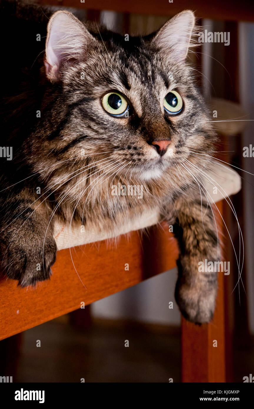 Retrato de una raza de gato doméstico para interiores Foto de stock