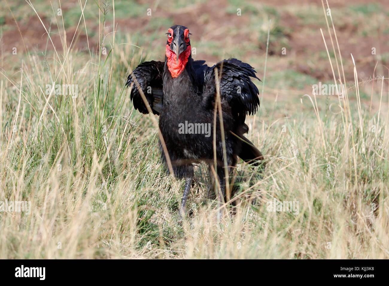 Tierra del Sur (Bucorvus leadbeateri Bucero). La reserva Masai Mara. Kenya. Foto de stock