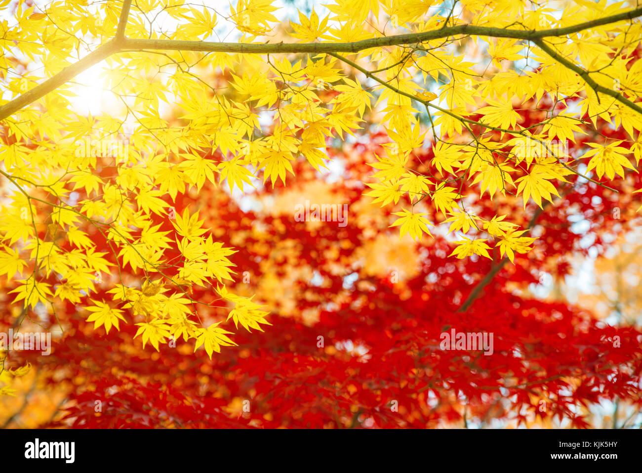 Hojas de arce rojo y amarillo en la temporada de otoño con el cielo azul de fondo borroso, tomadas desde Japón. Imagen De Stock