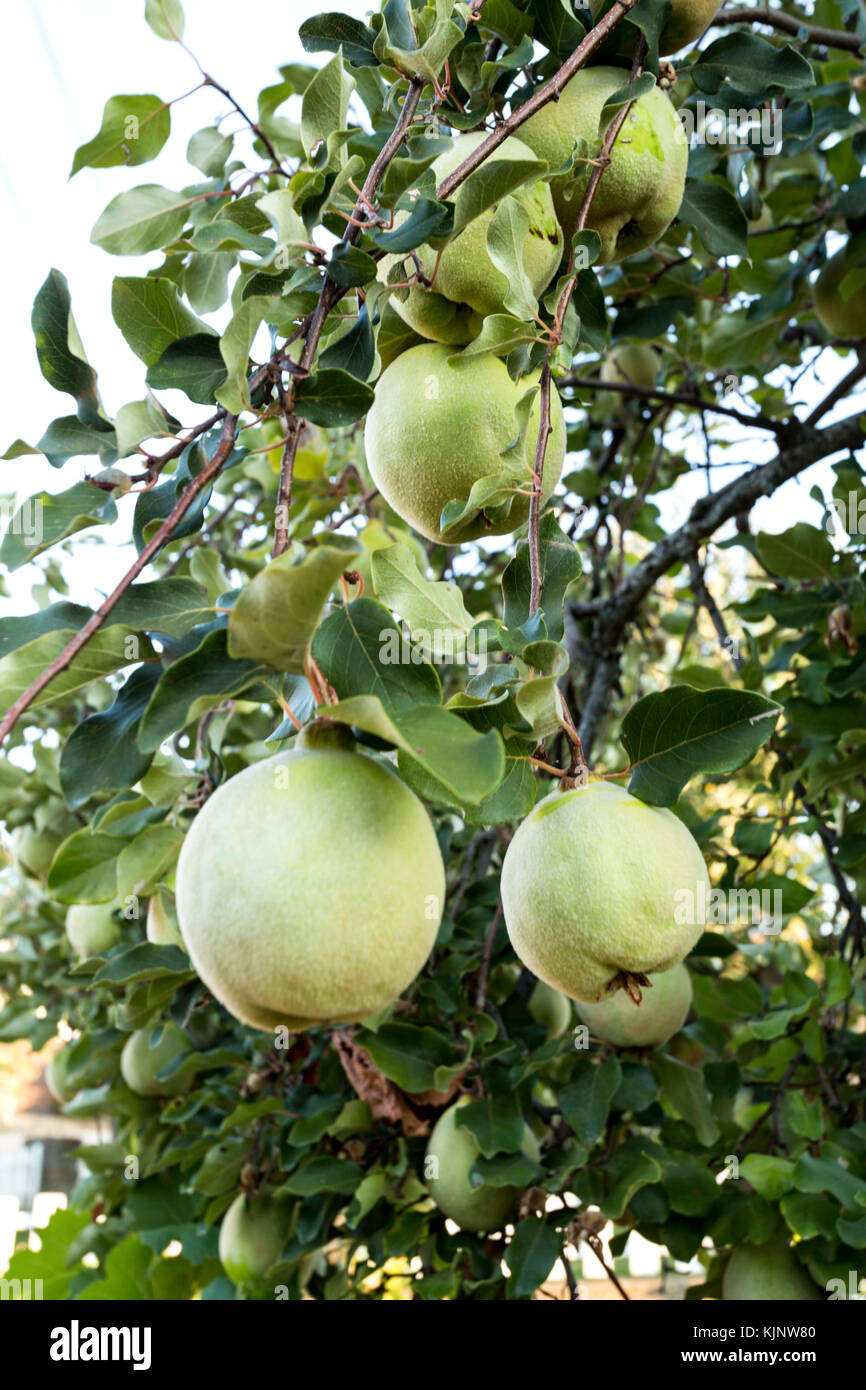 Membrillo arbol cydonia oblonga estaahi tags barcelona for Lista de arboles de hoja caduca