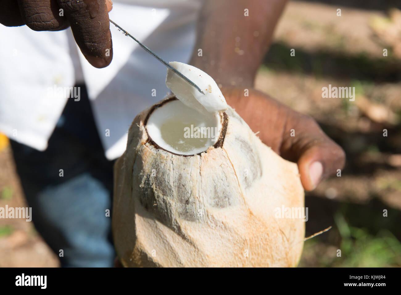 Zanzíbar, Tanzania; un joven agricultor cortes abre un coco ha elegido en una granja de especias en la isla. Imagen De Stock
