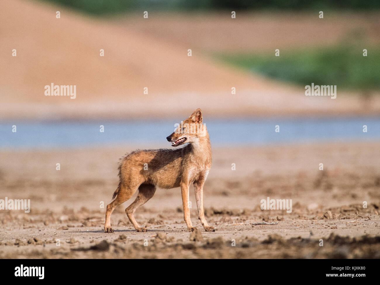 El Chacal, indio Canis aureus indicus, el parque nacional de Keoladeo Ghana, Bharatpur, Rajasthan, India Foto de stock