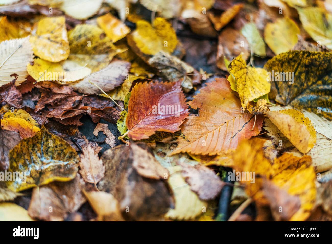 Multicolor de hojas mojadas después de la lluvia. Otoño de ordeño. Gotas de agua sobre las hojas. Hermoso telón Foto de stock