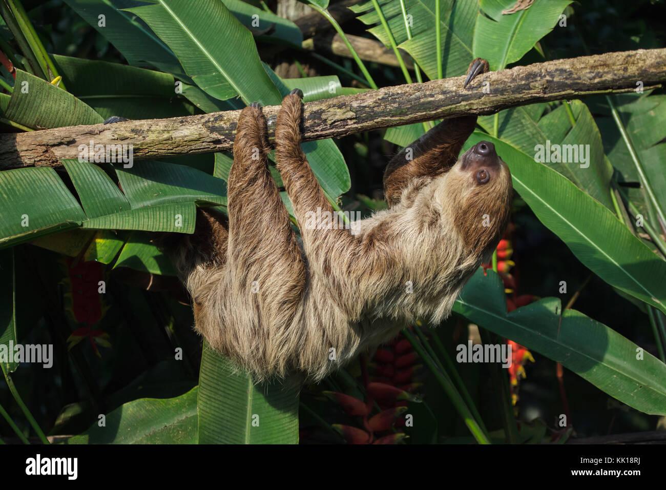 Linneo dos dedos cada sloth (Choloepus didactylus), también conocido como el sur de dos vetado la pereza. Foto de stock