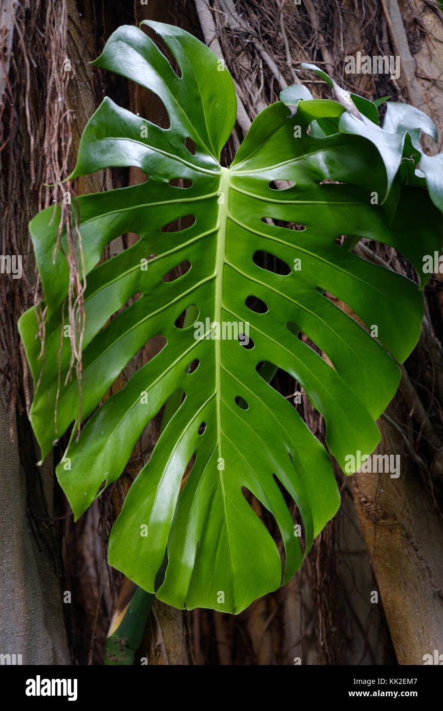 Big monstera plant stock photos big monstera plant stock for Planta filodendro
