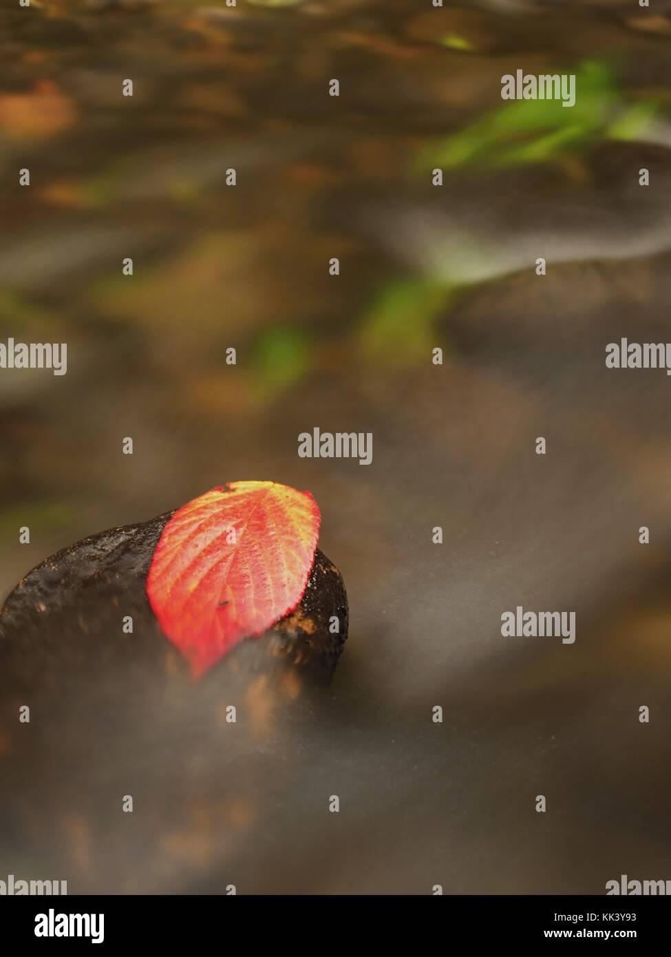 Hoja de frambuesa espinoso atrapados en la piedra mojada. Una deja atrapada en medio de un arroyo de montaña. Imagen De Stock
