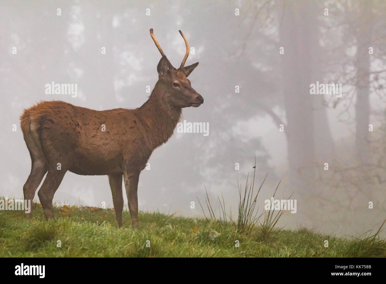 El ciervo, el Ciervo macho, en la bruma, Cheshire, Country Park, vida silvestre Imagen De Stock