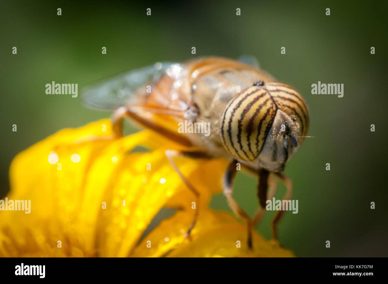 Primer plano de una abeja sobre una flor amarilla a la primera luz Foto de stock