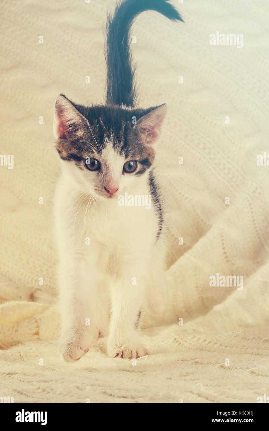 Foto vertical de bonito colorido semanas gatito. cat tiene color blanco y atigrado. animal está de pie sobre el tejido blanco manta. bonita luz cálida es s Foto de stock