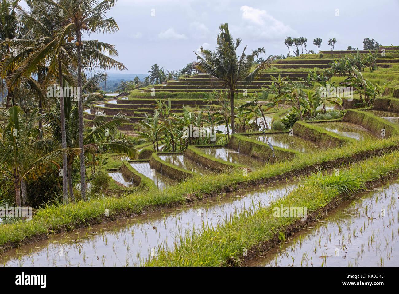 Jatiluwih arrozales en terrazas, terrazas de arroz en las tierras altas del oeste de Bali, Indonesia Imagen De Stock