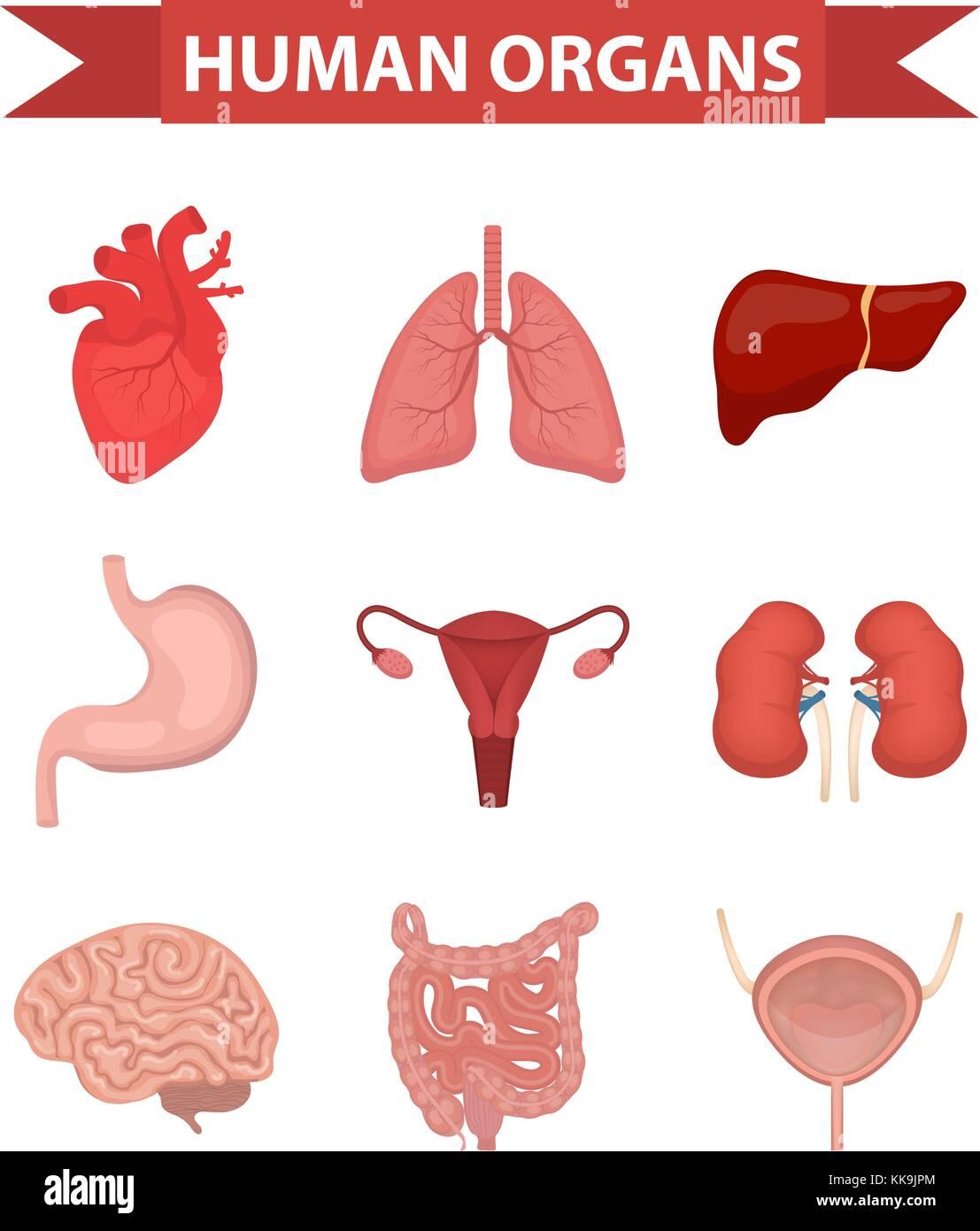 Los órganos internos de los humanos, conjunto de iconos de estilo ...