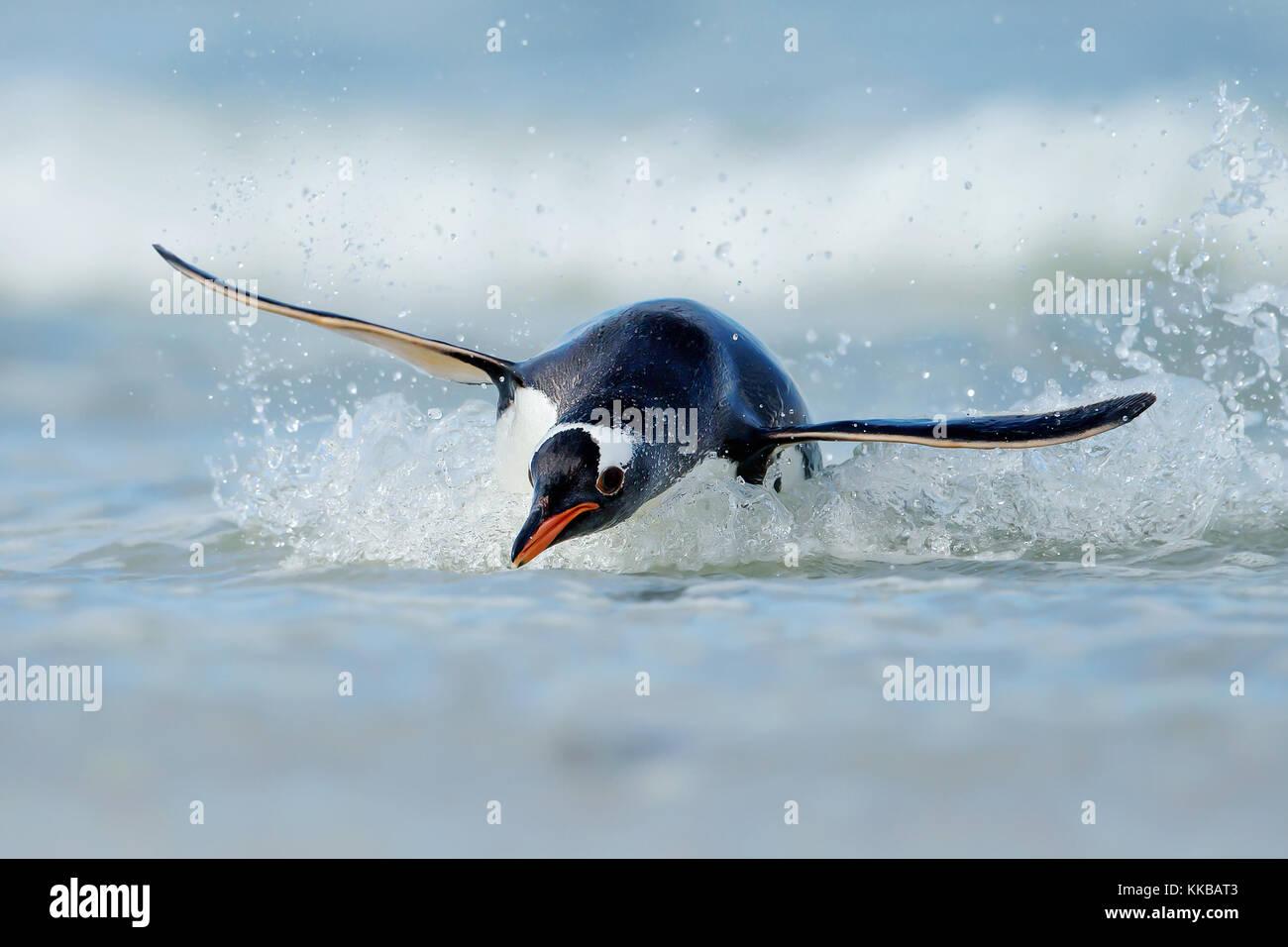 Buceo de pingüinos en las costas de las islas en el océano Atlántico Imagen De Stock