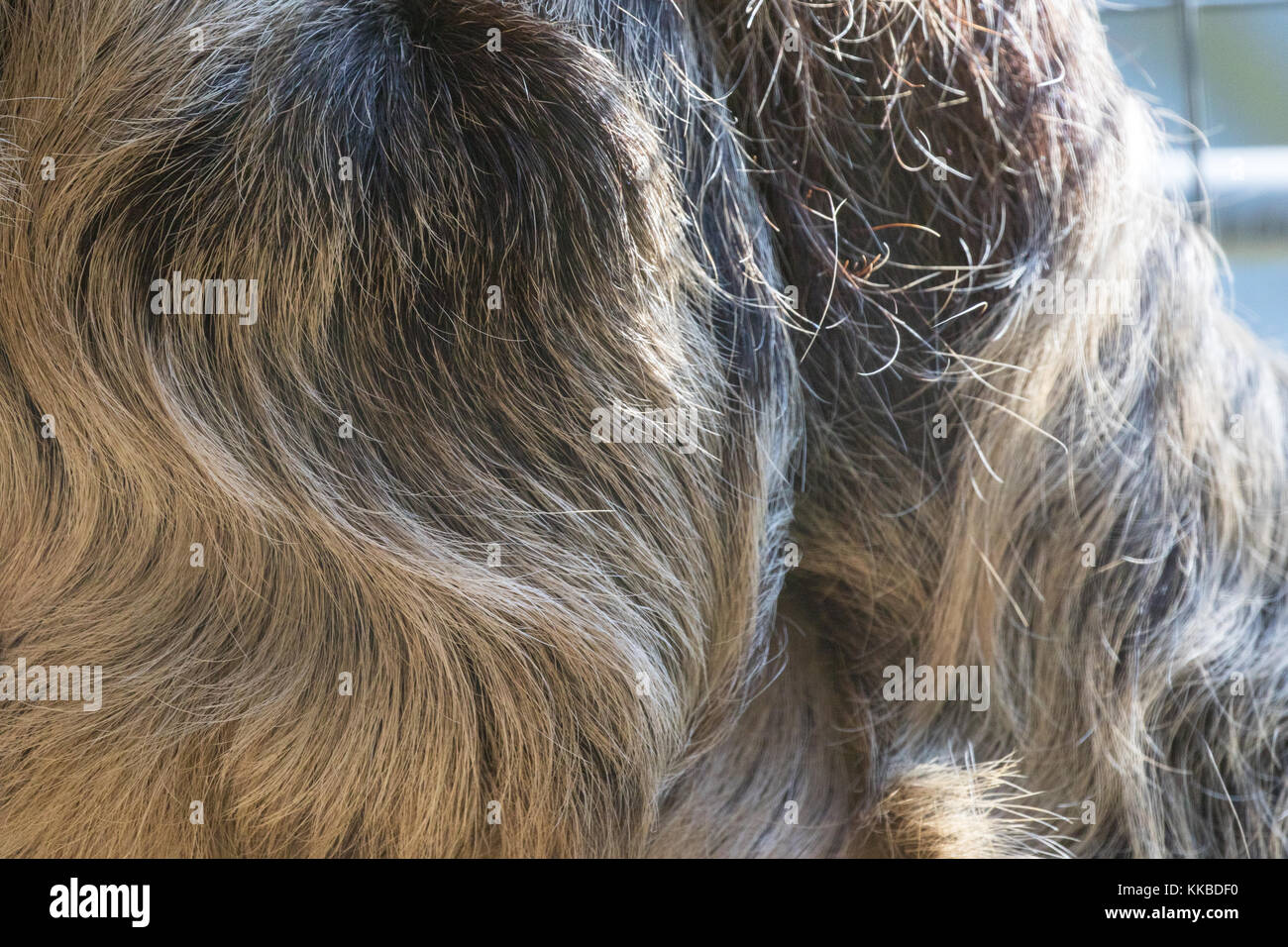 Linneo dos dedos cada sloth - choloepus didactylus - fur closeup. También conocido como espécimen cautivo unau.. centro de rehabilitación, no se puede liberar. Foto de stock