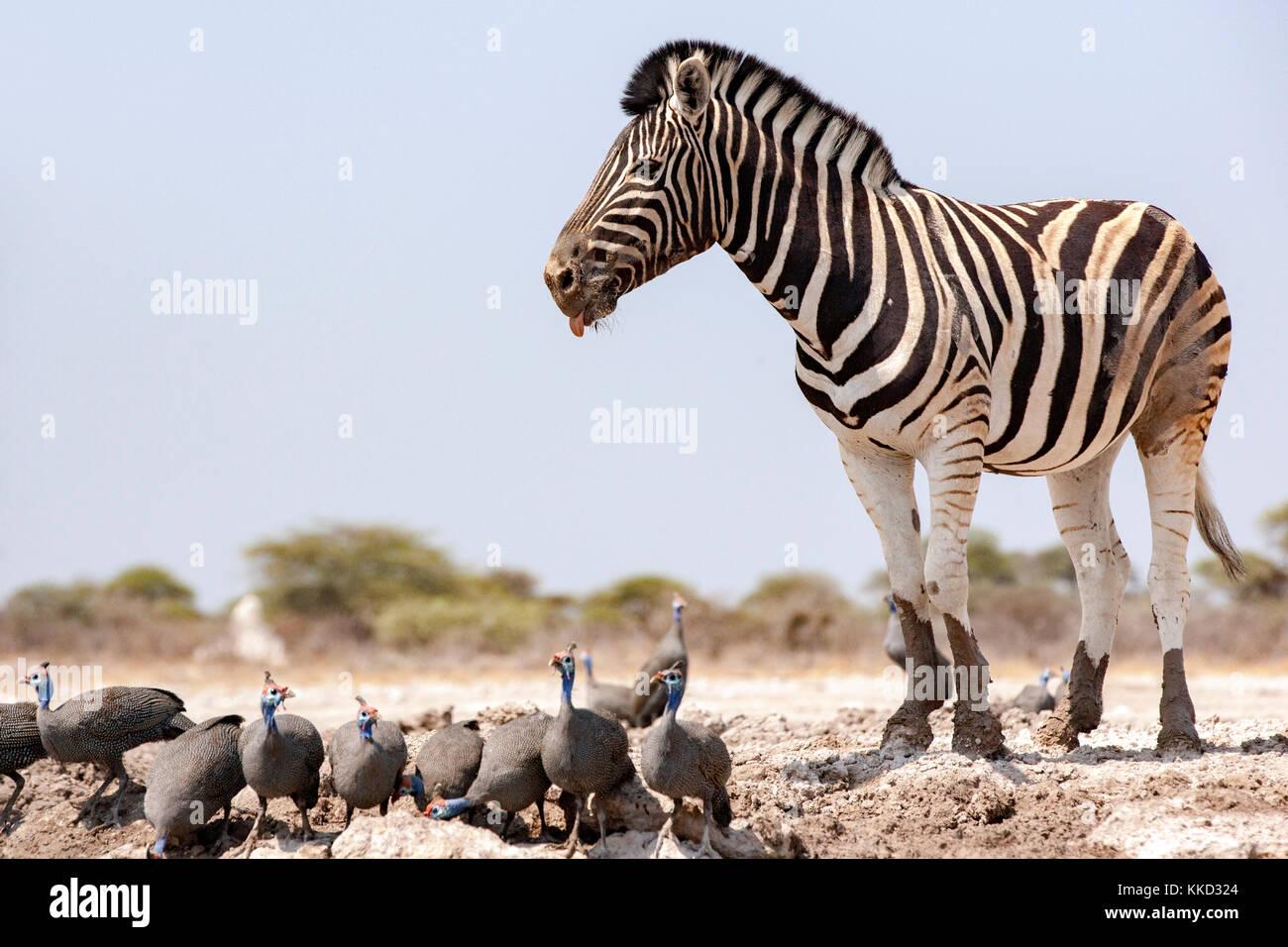 La cebra de burchell (Equus quagga burchellii) - ocultar onguma onkolo, reserva de caza, Namibia, África Imagen De Stock