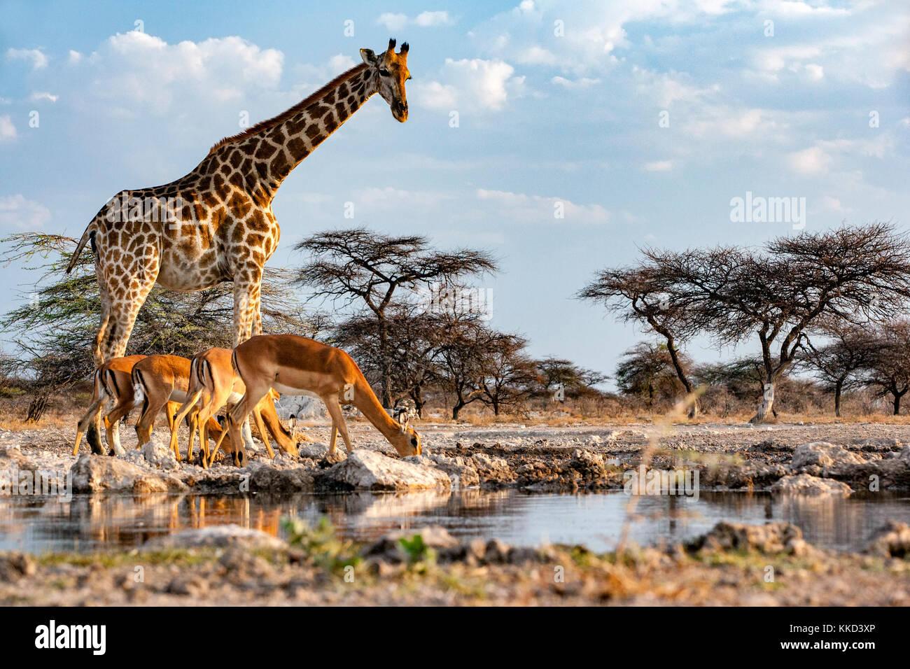 Jirafa con impala Onkolo Onguma en Ocultar, Reserva de caza, Namibia, África Imagen De Stock