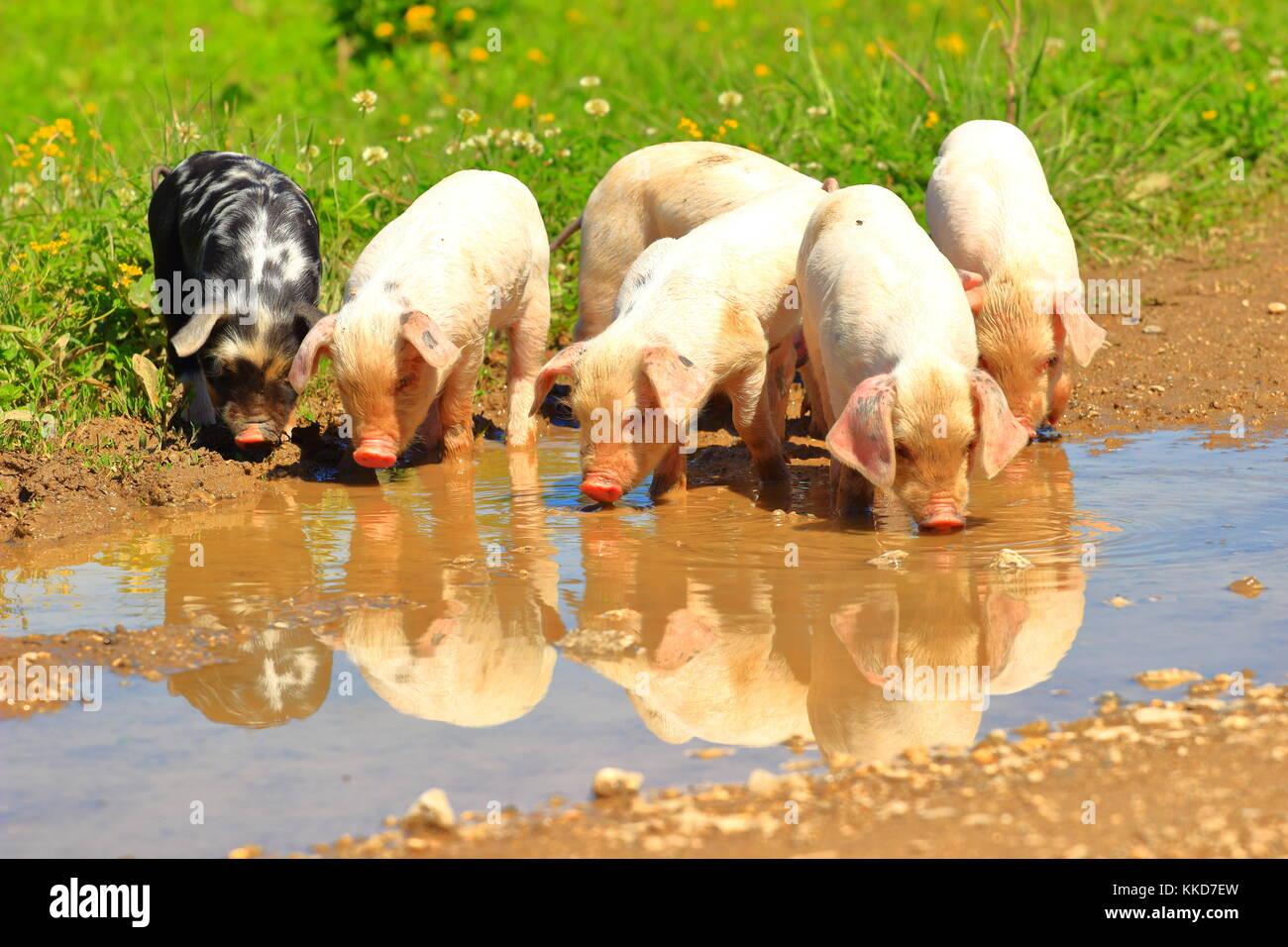 Cute little lechones en la granja Imagen De Stock