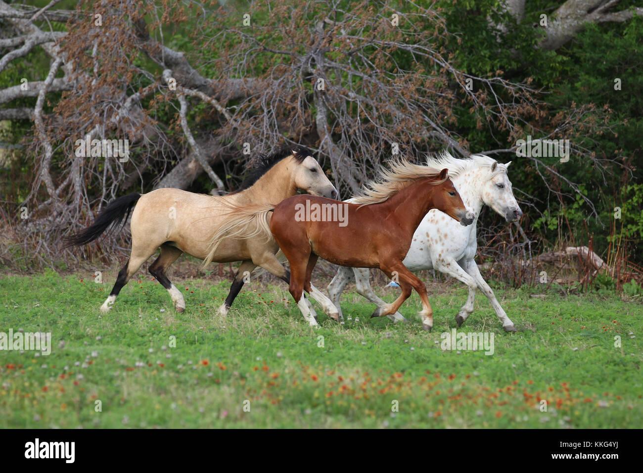 Pony de América, Sección Welsh ponis A Y B Imagen De Stock