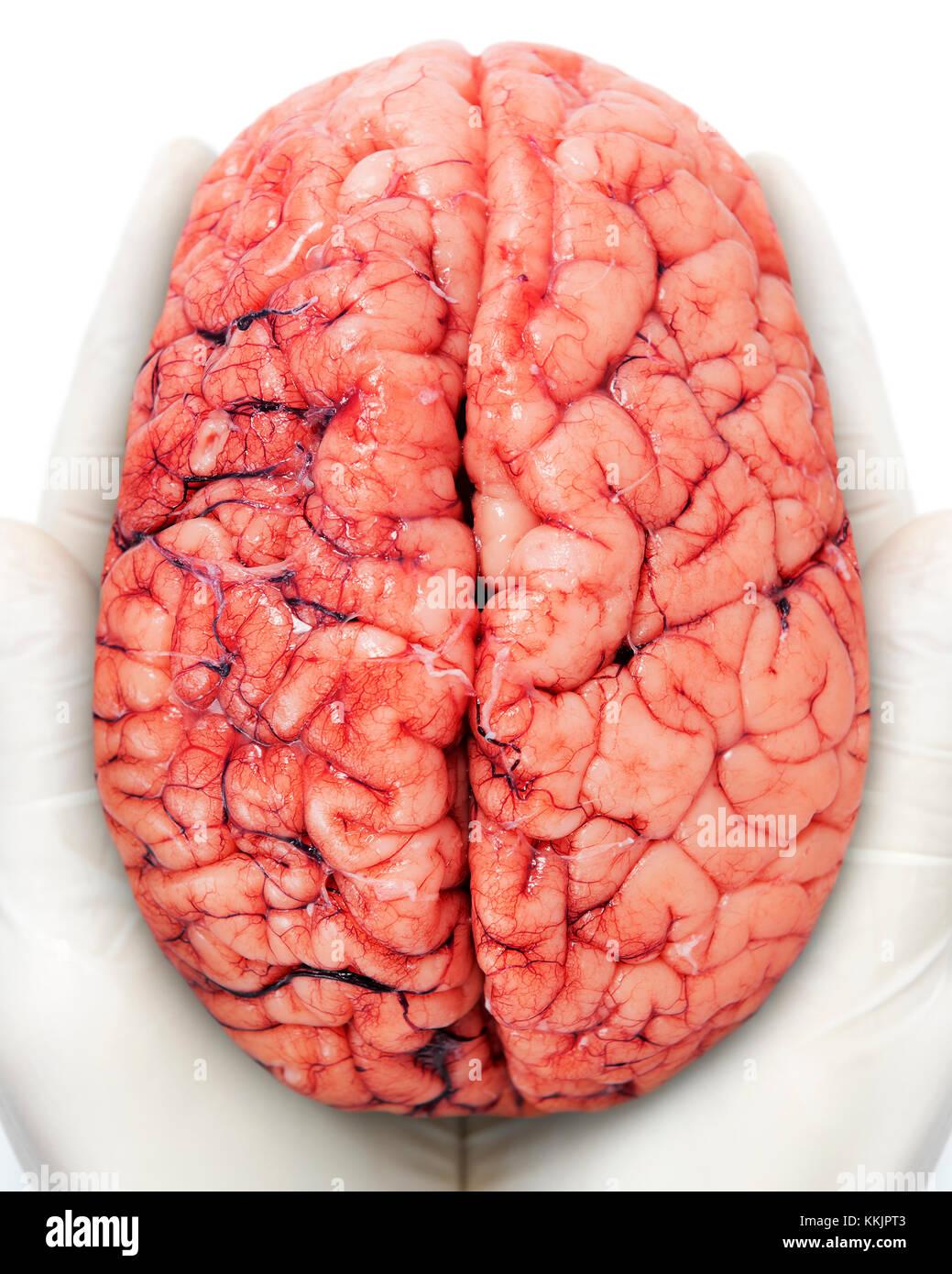 Cerebro humano Imagen De Stock