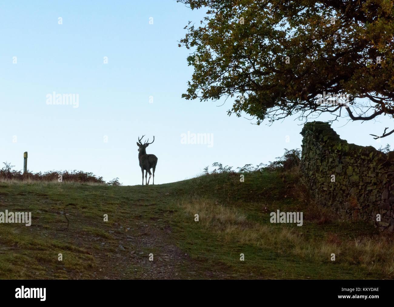 Roaming gratuito siluetas de ciervos en el parque Foto de stock