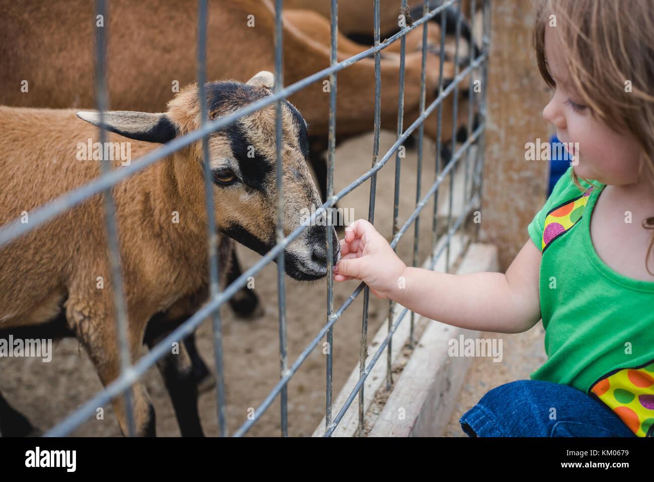 Una niña se alimenta de cabras en un zoológico de contacto Imagen De Stock