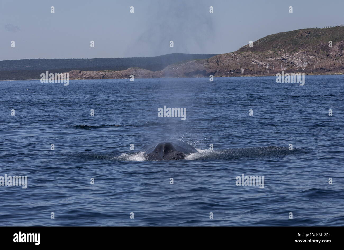 La ballena jorobada, Megaptera novaeangliae, revistiendo a respirar. Foto de stock