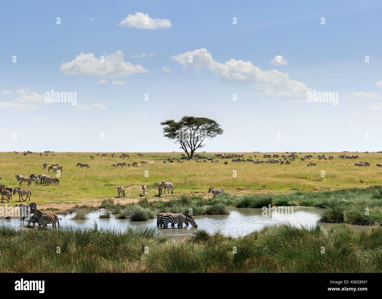 Cebras pastando en el Serengeti, Tanzania, África Imagen De Stock